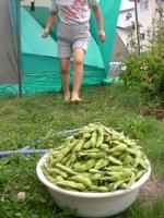 えだ豆収穫祭